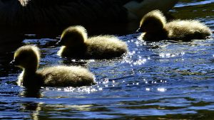 ducks-example of free pic from website- MorgueFile